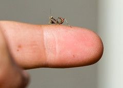 Baby praying mantis ... (young_einstein) Tags: