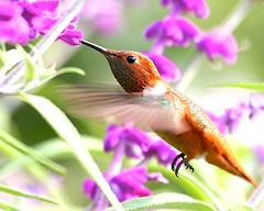 Stillness in Motion (Don Baird) Tags: park brown motion bird wings eyes bravo picnic hummingbird humming specnature specanimal top20bokeh abigfave flickrgold naturetrophy