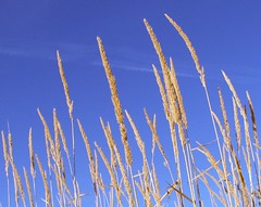 Skyward Grass (Carplips) Tags: blue sky grass golden cheney turnbullnwr