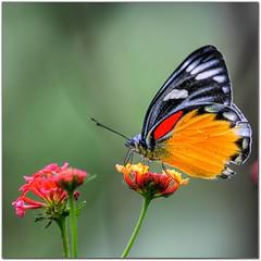 Feasting on colors (Java Cafe) Tags: india flower macro nature topf25 closeup butterfly insect interestingness topf50 500v20f bokeh f100 100v10f 500v50f topf100 006 shillong meghalaya 50v5f interestingness6 i500 1000v40f specnature specanimals exploretop20 animalkingdomelite p1f1 explore25oct06