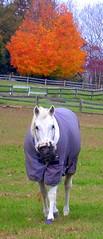 Horse_7673 (dcsaint) Tags: horse favorite tree fall geotagged nikon pennsylvania 2006 pa nikoncoolpix995 e995 dcsaint