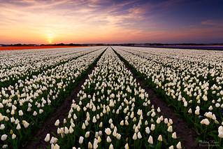 Classic Dutch Tulip Landscape