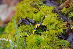 Feuersalamander (Aah-Yeah) Tags: feuersalamander salamander firesalamander schwanzlurch caudata achental chiemgau bayern