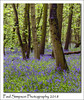 Bluebells in the woods (Paul Simpson Photography) Tags: paulsimpsonphotography imagesof imageof photoof photosof bluebells bluebell flowers flowering woodland sonya77 trees forest carpetofblue spring naturalworld photosofbluebells england englishbluebells