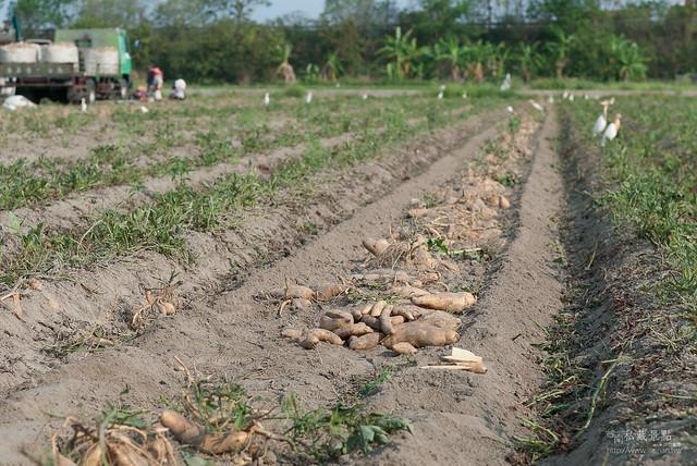 原來地瓜是這樣採收,還有人專門撿剩下的蕃薯(6)