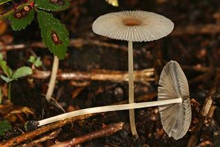 Parasola sp. (= Coprinus sp.), un coprin parasol.
