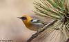 Olive Warbler (Peucedramus taeniatus) - Portal, AZ (bcbirdergirl) Tags: peucedramustaeniatus olivewarbler rustlerpark az us usa cochisecounty peucedramus peucedramidae