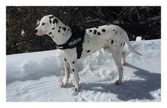 Album Chiens Clients Janvier-Avril 2018 (26) (Dalmatien-Golden-Braque) Tags: dalmatien goldenretriever braquedeweimar chien carcassonne elevage eleveur animaux dog breader