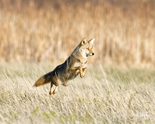 Coyote Greets Me This Morning