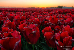 Catching the last light (Marc Haegeman Photography) Tags: tulips tulpen bloemen lente mei spring flowers goereeoverflakkee nederland netherlands zuidholland sky outdoor landscapephotography nature cultivation flower tulip marchaegemanphotography nikond850 herkingen sunset dusk