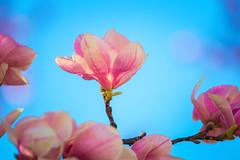 Magnolia Blossoms (A Great Capture) Tags: spring flowers cabbagetown toronto magnolia tree blossoms blossom natural ontario bloom agreatcapture agc wwwagreatcapturecom adjm ash2276 ashleylduffus ald mobilejay jamesmitchell on canada canadian photographer northamerica torontoexplore springtime printemps 2018