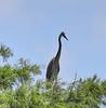 05-09-18-0016895 (Lake Worth) Tags: animal animals bird birds birdwatcher everglades southflorida feathers florida nature outdoor outdoors waterbirds wetlands wildlife wings