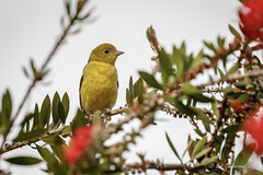 Western Tanager (f) (Bob Gunderson) Tags: birds california fortmason northerncalifornia pirangaludoviciana sanfrancisco tanagers tanagersbuntingscardinals westerntanager