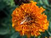 Colors (ozkantayfun) Tags: flower color orange nature macro dof green view spring summer flowers