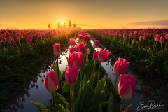 Morning Dew (Erwin Buske Photography) Tags: roozengaarde tulips sunrise morningdew pinktulips skagitvalley tulipfields