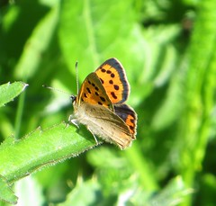 SMALL COPPER 2018 (d p hughes) Tags: smallcopper lycaenaphlaeas butterflies bugs insects nature wildlife colour outdoor depthoffield crewe cheshire
