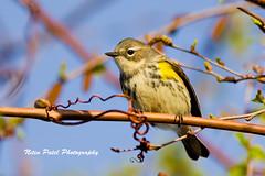 IMG_6238 (nitinpatel2) Tags: bird nature nitinpatel