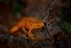 After the Storm (Kathy Macpherson Baca) Tags: animal amphibian world planet nature longisland earth forest tadpole orange wildlife salamander moss hide preserve