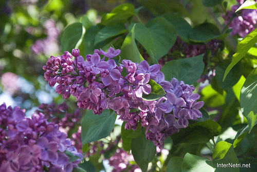 Сад бузків Ботанічний сад імені Гришка InterNetri  Ukraine 10