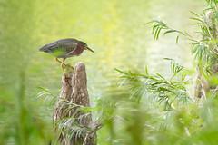 Green Heron (Butorides Virescens) (fiu) Tags: bg benguzman fiu floridainternationaluniversity greenheron birds birding