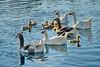 crowded family (meren34) Tags: goose duck gosling family animals river life жизнь река животные семья глупыш утка гусь 生活 川 動物 家族 ゴスリング アヒル ガチョウ जिंदगी नदी जानवरों परिवार कलहंस का बच्चा बत्तख
