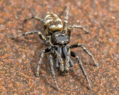 Zebra Spider (Craig Hannah) Tags: zebraspider jumpingspider spider macro insect wildlife nature allotment diggle saddleworth westriding yorkshire oldham greatermanchester craighannah may 2018 england uk