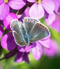 P1356493 (Brian Wadie Photographer) Tags: bluebutterfly commonblue frontgardenflowers iris