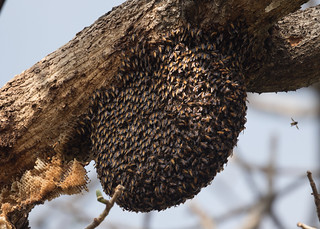 Giant Honey Bees- Apis dorsata