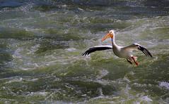 Incoming Pelican (Gerry Marchand) Tags: olympus omd em5 americanwhitepelican pelican river southsaskatchewanriver saskatoon saskatchewan canada weir water turbulence