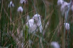 Veen pluis (R.Z.fotografie) Tags: nunspeet nederland netherlands natuur nature bloem veenpluis pluisje