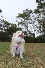 20180425-IMG_3205 (PM Clark) Tags: chihuahua pure bred long coat jezebel sydney australia