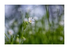 Macro-125A0651-Modifier (helenea-78) Tags: fleurs fleurssauvages macro nature