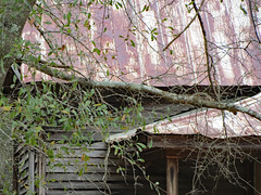 Cabin And Tree Limb. (dccradio) Tags: whiteoak nc northcarolina bladencounty outside outdoors harmonyhall harmonyhallplantation park museum history historic historical livinghistory cabin house building architecture old antique vintage classic porch roof tree trees greenery foliage branches treebranch treebranches treelimb treelimbs