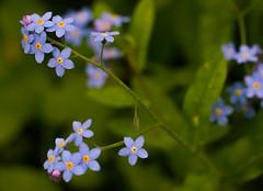 Vergissmeinnicht (clemensgilles) Tags: deutschland eifel germany beautiful flowers frühling blumen