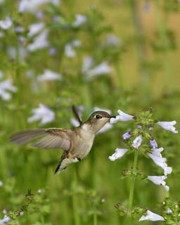 female hummingbird sampling lyre-leaf sage _5-1-18_050