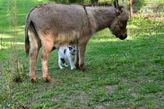 Dragon Fly Farm Donkeys 20180502 20180501  DSC_3071 Cat (Shane's Flying Disc Show) Tags: donkeys catdragonflyfarm
