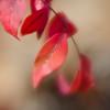 Nandina (Anne Worner) Tags: anneworner d7000 lensbaby nikon velvet56 bush leaves manualfocus manualfocuslens nandina plant square red shallowdof f16 sacredbamboo