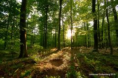 Frühling im Buchenwald (grafenhans) Tags: sony alpha 68 alpha68 a68 slt sigma 4056 uww ultraweitwinkel gegenlicht sonnenuntergang sonne sonnenstrahlen frühling wald baum bäume grafenwald bottrop nrw natur landschaft