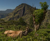 Tea Country-105 (snellerphoto) Tags: cow ella littleadamspeak srilanka tea teaplantation