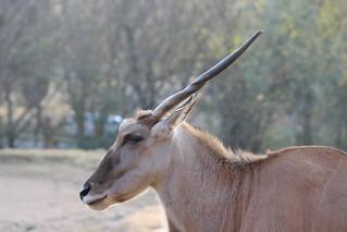 Male Eland