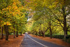 The Avenue Of Goodness || MT WILSON || BLUE MOUNTAINS (rhyspope) Tags: australia aussie nsw new south wales canon 5d mkii blue mountains mt mount wilson autumn fall foliage road street avenue trees yellow leaves travel tourist rhys pope rhyspope