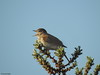 Nightingale (Corine Bliek) Tags: lusciniamegarhynchos bird birds singing vogel vogels nature natuur wildlife zangvogel zang tree foliage leaf forest wood song duinen dunes spring voorjaar