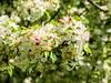Bloomin' trees (brooklandsspeedway) Tags: creamerypark lehighvalley lowermacungie alburtis
