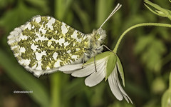 Orange-tip butterfly on a stitchworf flower (stevenbailey7) Tags: insect butterfly insects butterflies nature wildlife new spring springtime flowers flower orangetip white green countryside walk garden plant flora fauna plants flickr nikon 7dwfr tamron tamrom90mm detail beautyful colourful wildflowers pieridae