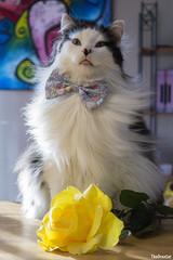 Happy Mother's Day! (TheOreoCat) Tags: mothersday cats cat theoreocat catsinties catsoftheinternet catsinbowties oreo animals pets