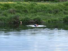 I've got a bite! (Phil Gayton) Tags: water meadow grass animal grey seal halichoerusgrypus snipe island river dart totnes devon uk