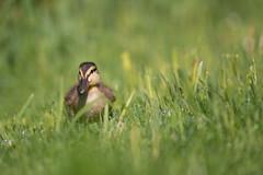 Spaziergang durch das nasse Gras (Anja van Zijl) Tags: birdwatching ornithology waterbird entenküken ente duckling duck wasservogel entenvogel bird nature tier animal raindrops