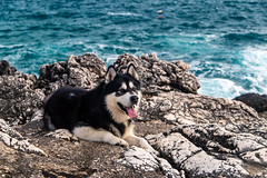 Denzel the Malamue at the Seaside (Wolfhowl) Tags: portrait adriaticsea lovely cute hot kawaii resting hvar breeze croatia spring nomad sea shore waves adriatic alaskanmalamute rocks puppy pet friendly relax dog denzel animal travel europe seaside malamute