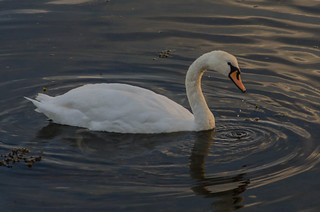 Swan in the evening