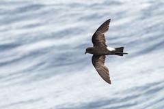 Wilson's Storm Petrel (PeterBrannon) Tags: bird capecanaveral florida nature oceanitesoceanicus pelagic wildlife wilsonsstormpetrel ocean stormpetrel